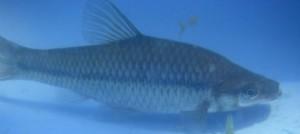 Pseudorasbora capturé dans la Méouzette au pont de Malcornet en 2009 (Photo : MEP 19)